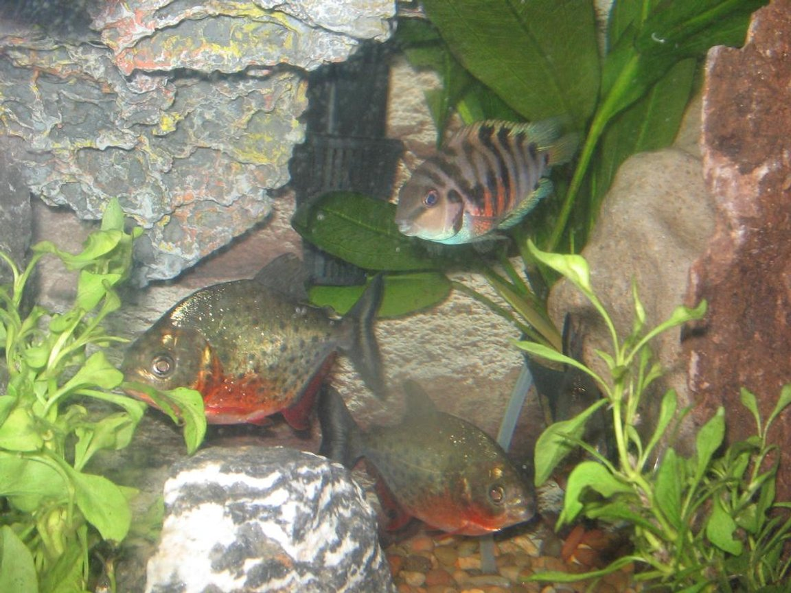 freshwater fish - pygocentrus nattereri - redbellied pirhana stocking in 2 gallons tank - pirhanas and convicts living in harmony
