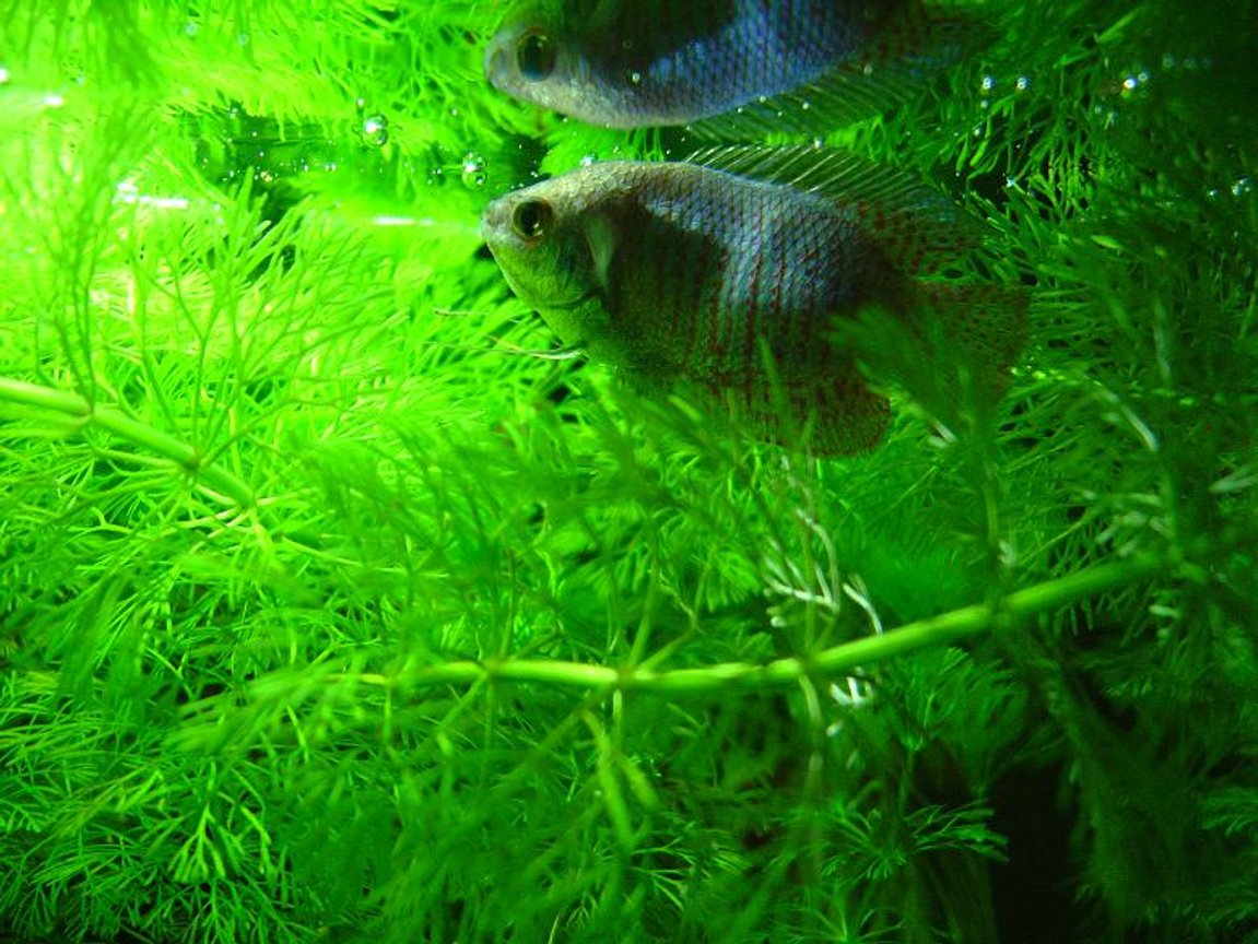 freshwater fish - colisa lalia - blue dwarf gourami stocking in 10 gallons tank - Blue Dwarf Gourami