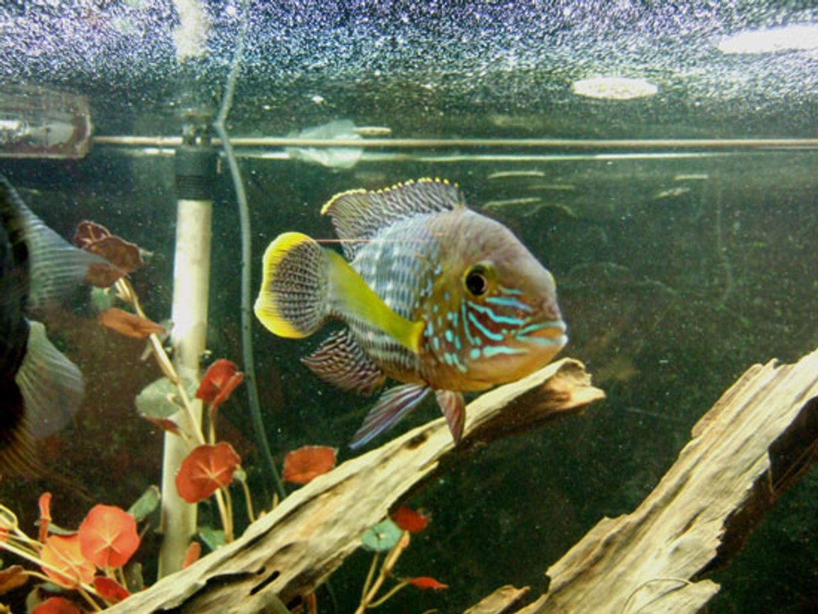 freshwater fish - aequidens rivulatus - green terror stocking in 75 gallons tank - male green terror