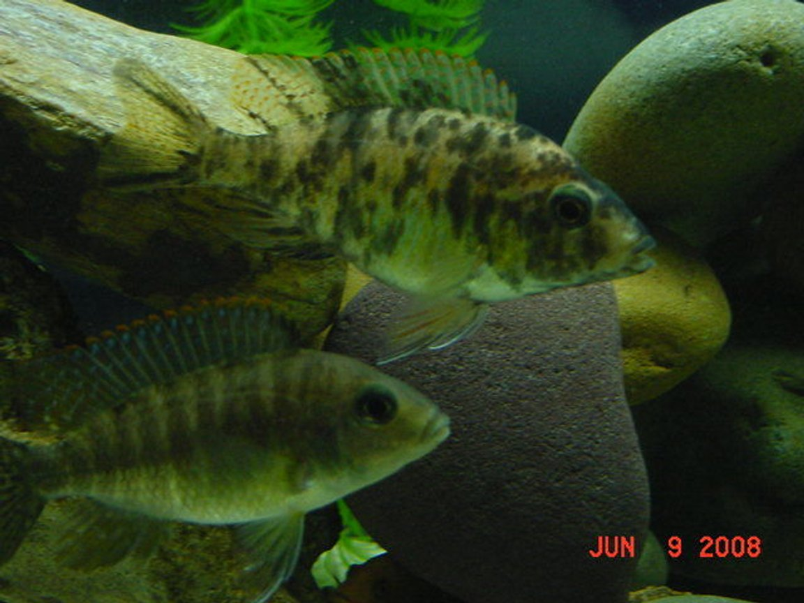 freshwater fish - aulonocara nyassae var. - peacock cichlid, orange blossom stocking in 75 gallons tank - OB Peacock and Red Peacock