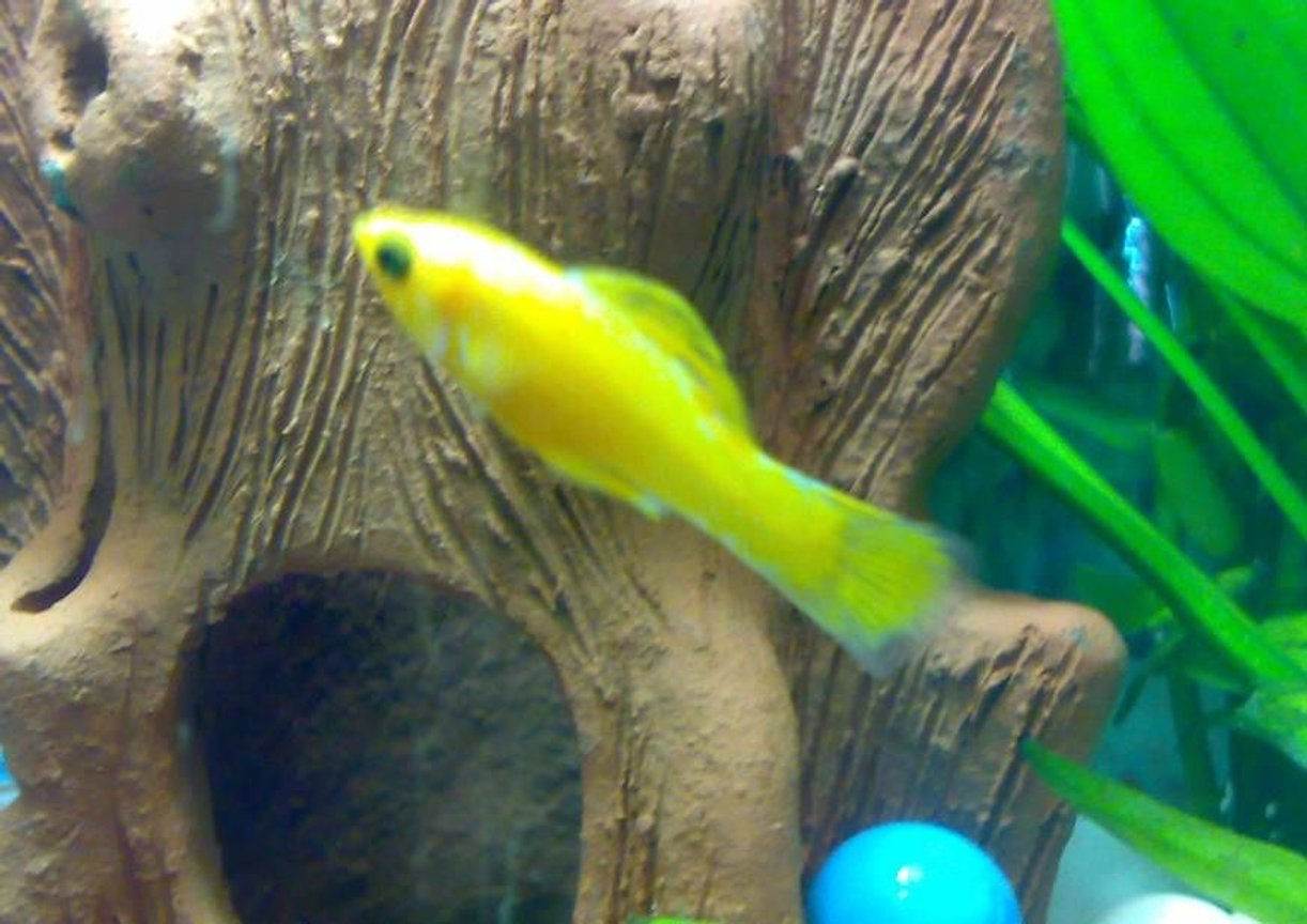 freshwater fish - poecilia latipinna - balloon molly stocking in 10 gallons tank - Yellow Molly