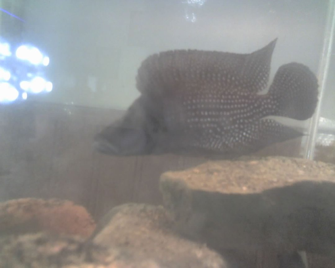 freshwater fish - altolamprologus calvus - calvus stocking in 60 gallons tank - this is my calvus