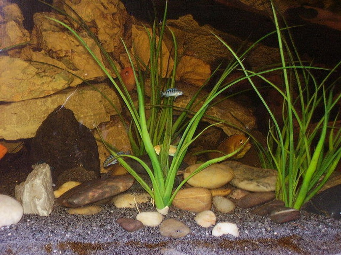 freshwater fish stocking in 75 gallons tank - my african cichlid tank 6