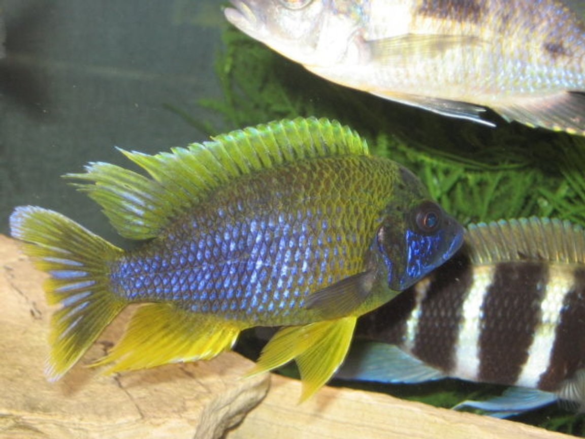freshwater fish - aulonocara mamelela - lemon jake stocking in 125 gallons tank - LEMON JAKE