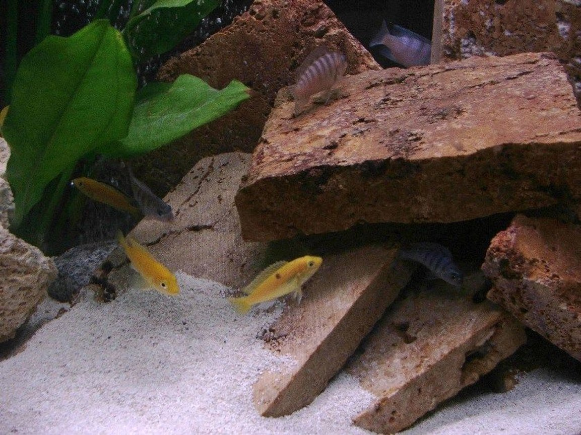 freshwater fish - labidochromis caeruleus - electric yellow cichlid stocking in 30 gallons tank - The fish love their new setup.