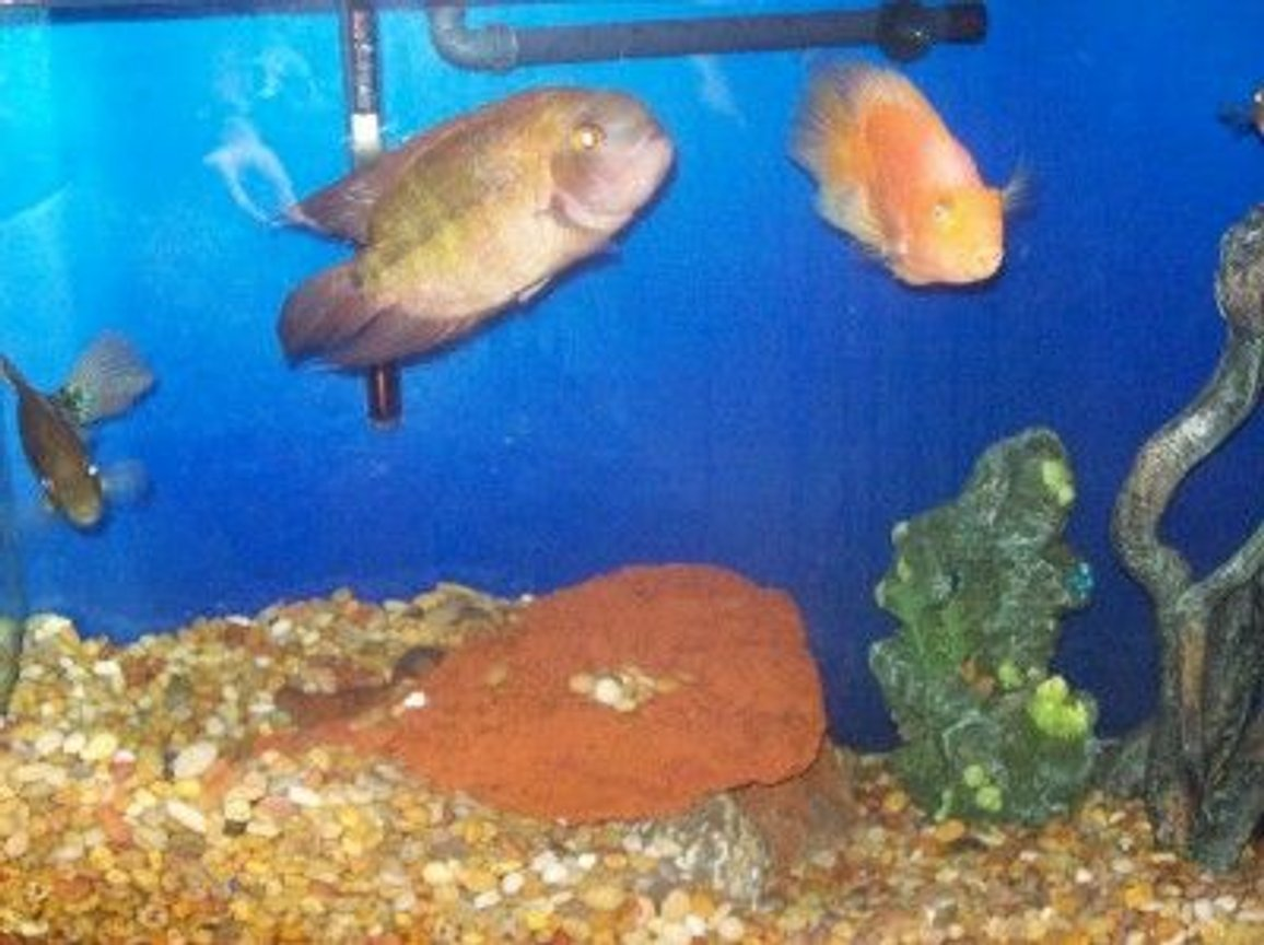 freshwater fish - hypselecara temporalis - chocolate cichlid stocking in 125 gallons tank - my parrot and chocolate cichlid in my 100g.