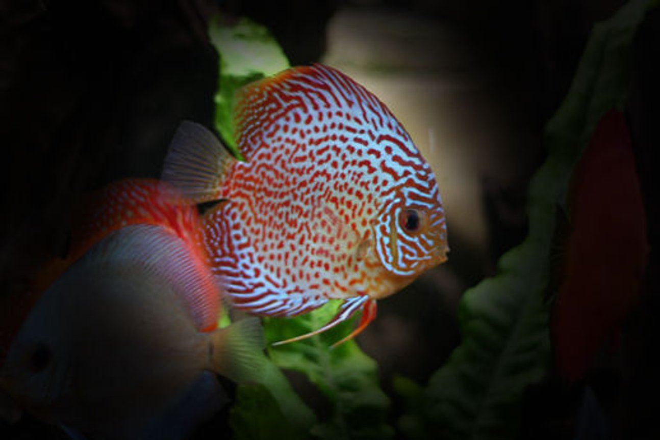 freshwater fish - symphysodon spp. - snakeskin discus stocking in 127 gallons tank - Leopard Discus