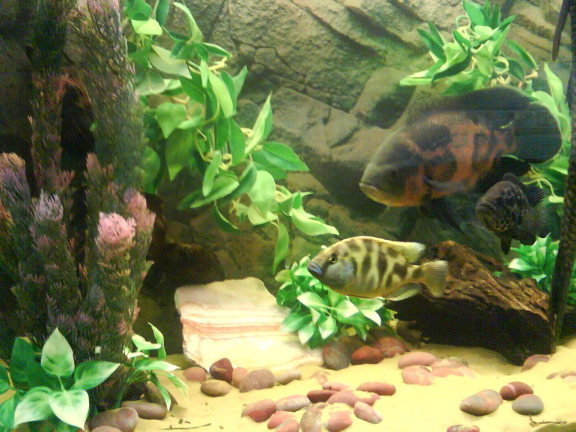 "freshwater fish - astronotus ocellatus - tiger oscar stocking in 55 gallons tank - THE "" BIG FISH "" TANK"