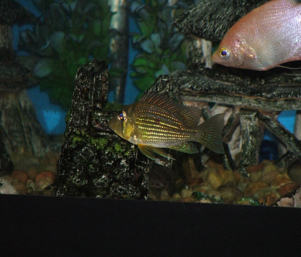 freshwater fish - geophagus surinamensis - red striped eartheater stocking in 110 gallons tank - Geo