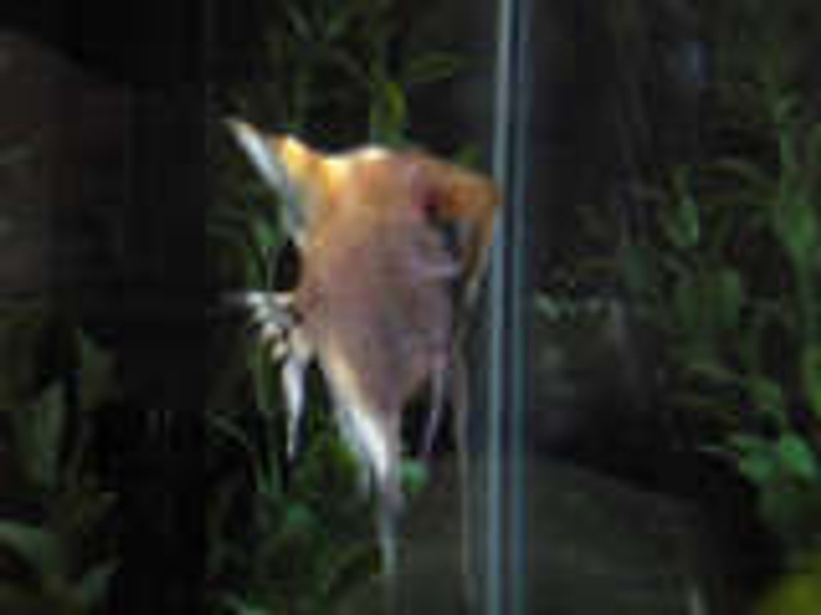 freshwater fish - pterophyllum sp. - red angel stocking in 20 gallons tank - My Lil Angel