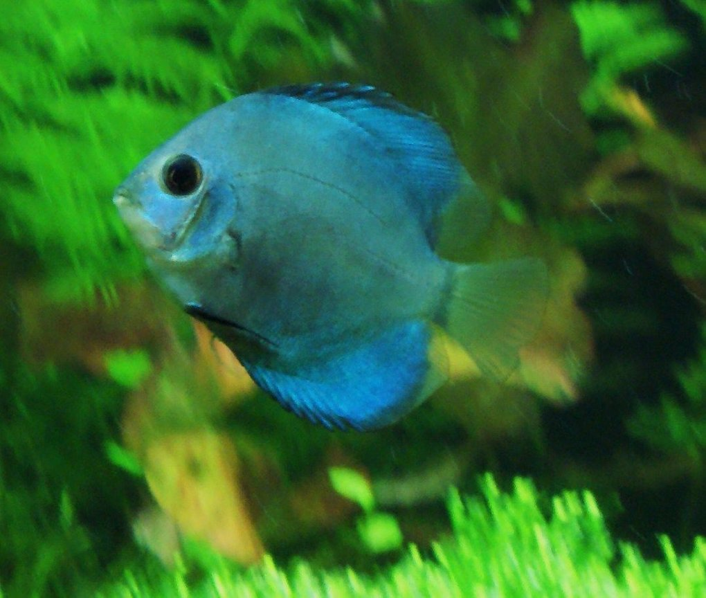 freshwater fish - symphysodon spp. - neon blue discus stocking in 80 gallons tank - gotta go!!