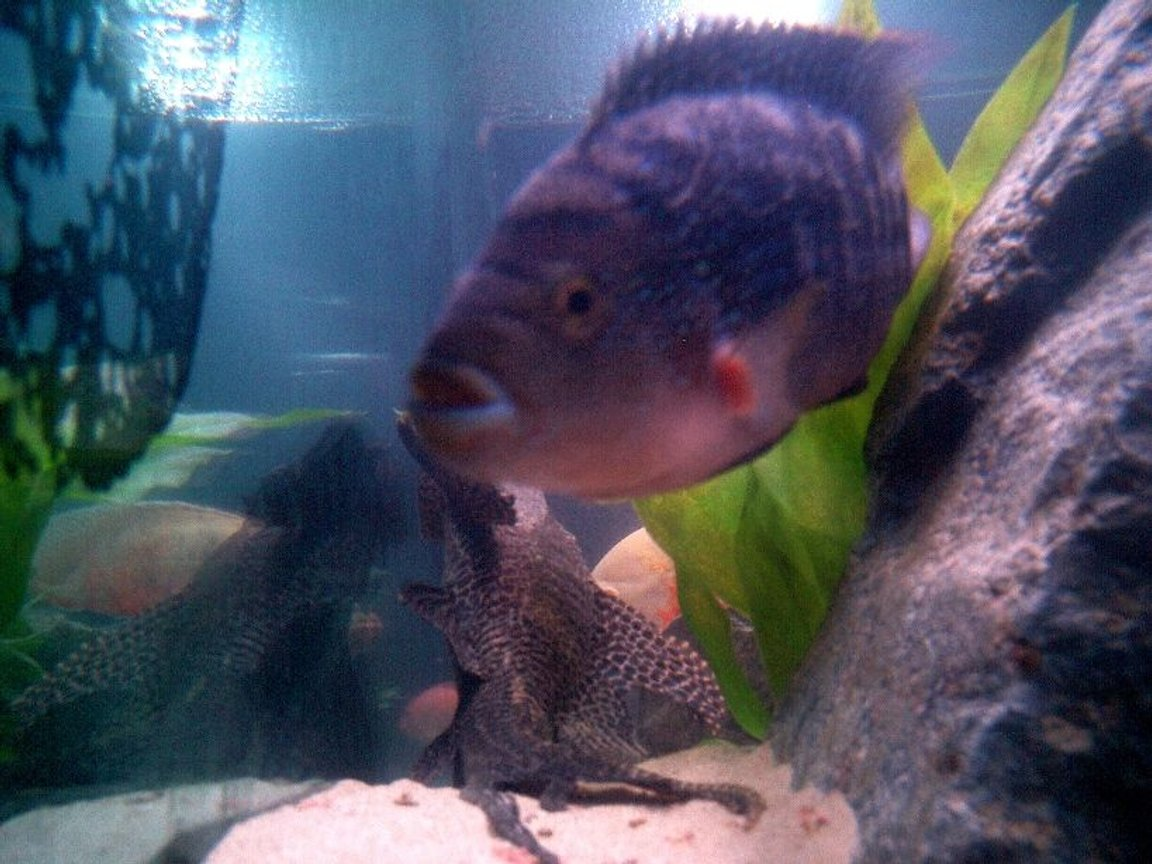 freshwater fish - nandopsis octofasciatum - jack dempsey stocking in 135 gallons tank - Jack Dempsey and Pleco