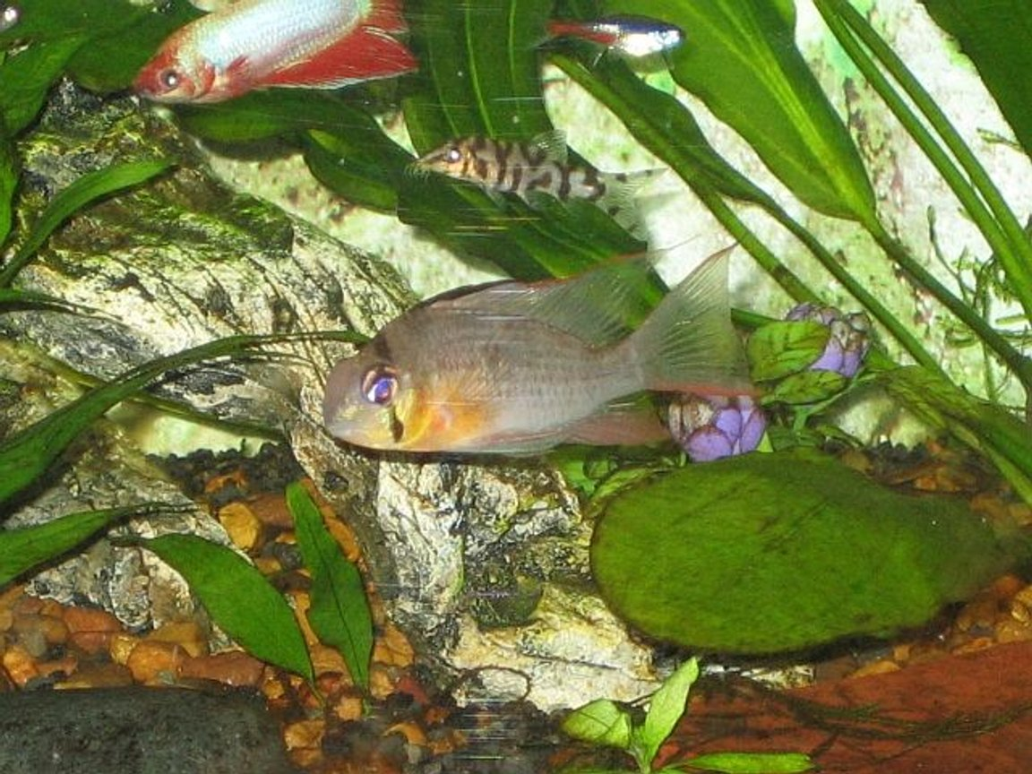 freshwater fish - microgeophagus altispinosa - bolivian ram stocking in 20 gallons tank - Bolivian Ram