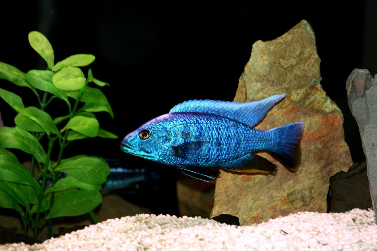 freshwater fish - sciaenochromis fryeri - electric blue hap stocking in 66 gallons tank - electric blue at his very best