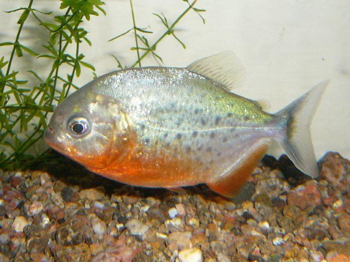 freshwater fish - pygocentrus nattereri - redbellied pirhana stocking in 50 gallons tank - red bellied piranah..!!!