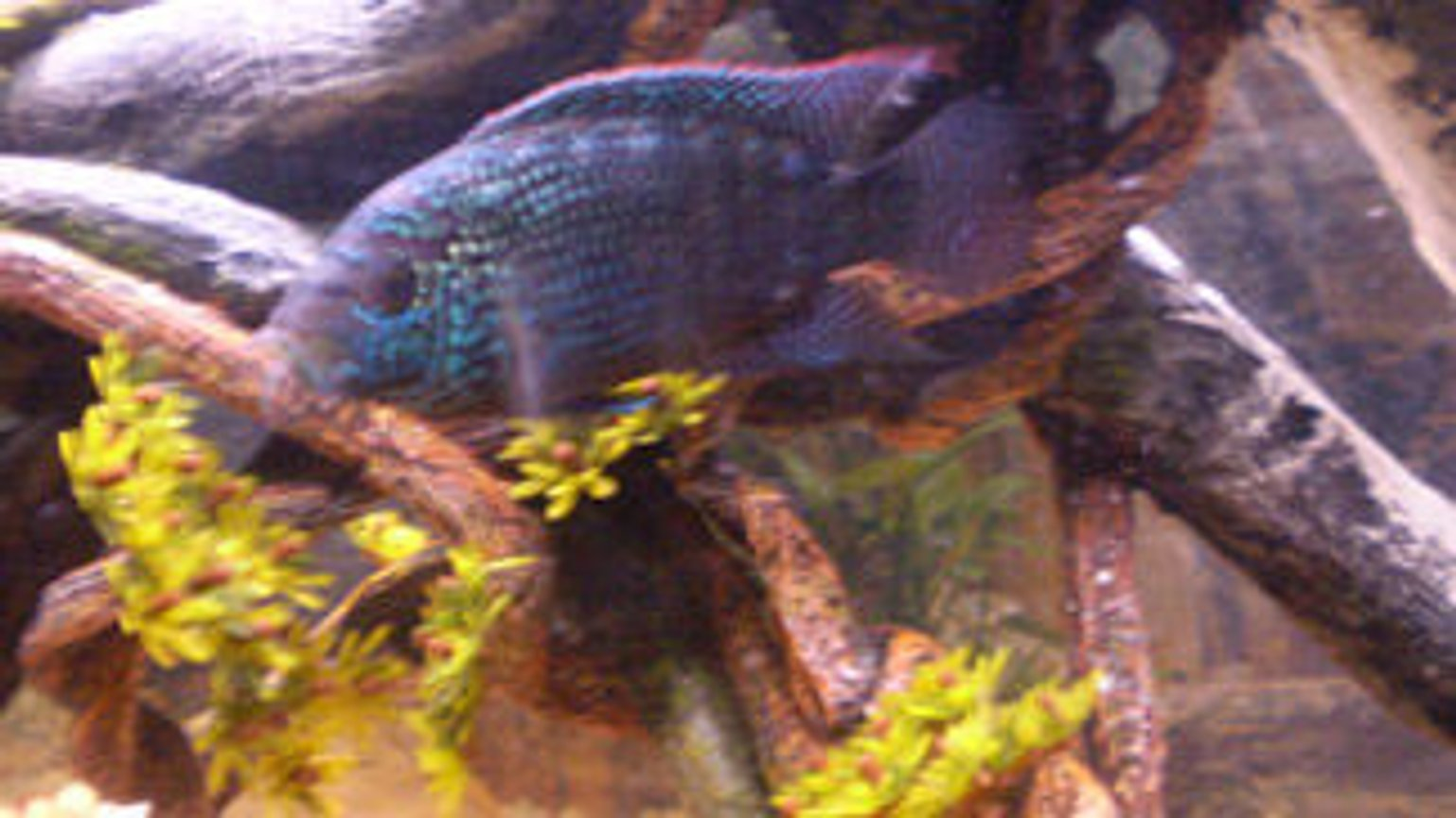 freshwater fish - nandopsis octofasciatum - jack dempsey stocking in 75 gallons tank - My female Jack Dempsey. Sorry for the bad pic she wouldnt hold still but you can see her colors really well