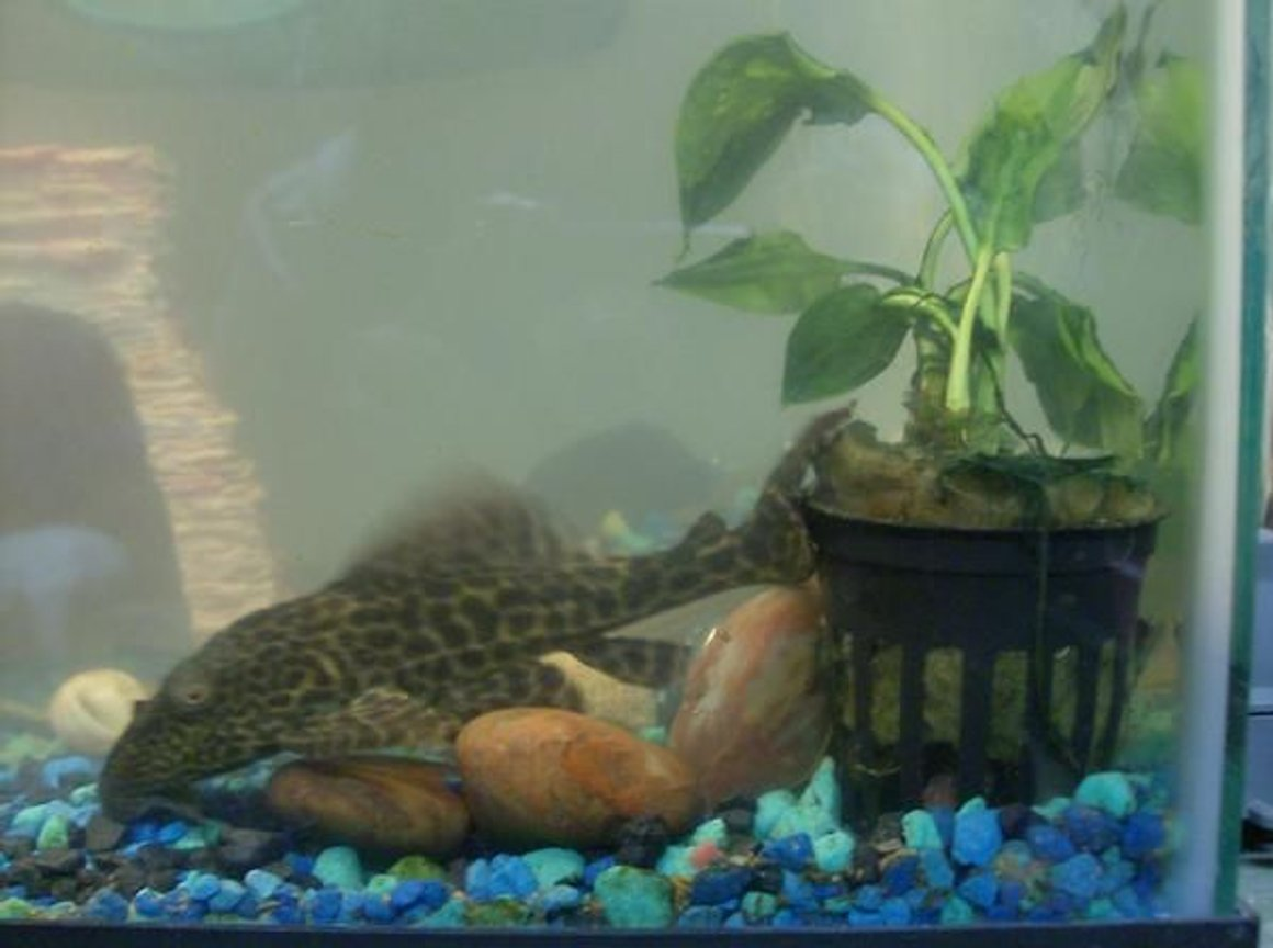 freshwater fish - hypostomus punctatus - trinidad pleco stocking in 20 gallons tank - This is spot.. my first pleco I bought in 2005..