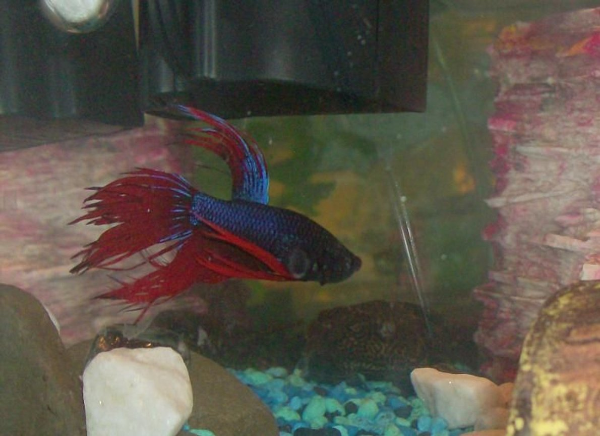 freshwater fish - betta splendens - crown tail betta stocking in 20 gallons tank - Mr. Betta Fish. He is a crowntail betta so his fins look like ribbons! I love his coloring and unlike most bettas he is in our tank with several other fish and hes never agressive towards them..