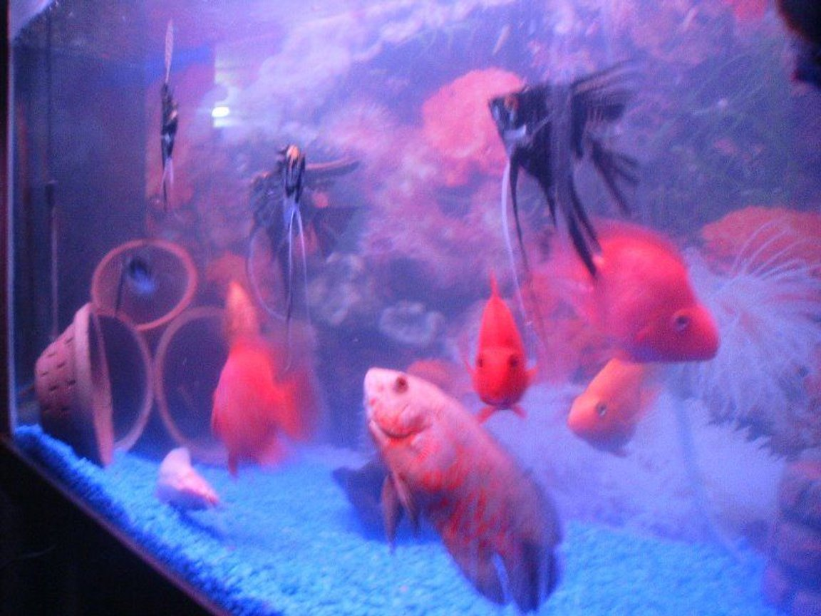 freshwater fish - astronotus ocellatus - red oscar stocking in 6 gallons tank - oscar with angels