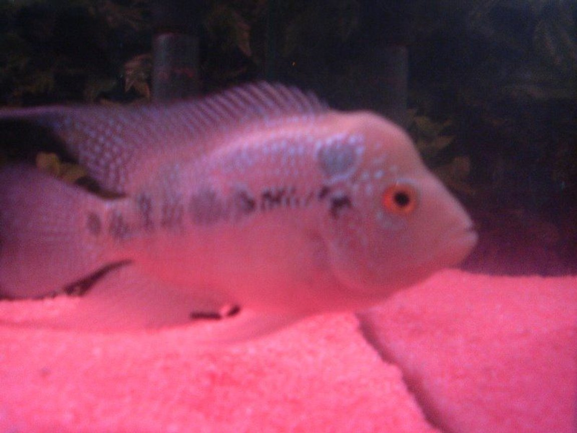 freshwater fish - cichlasoma sp. - flower horn cichlid stocking in 6 gallons tank - flowerhorn