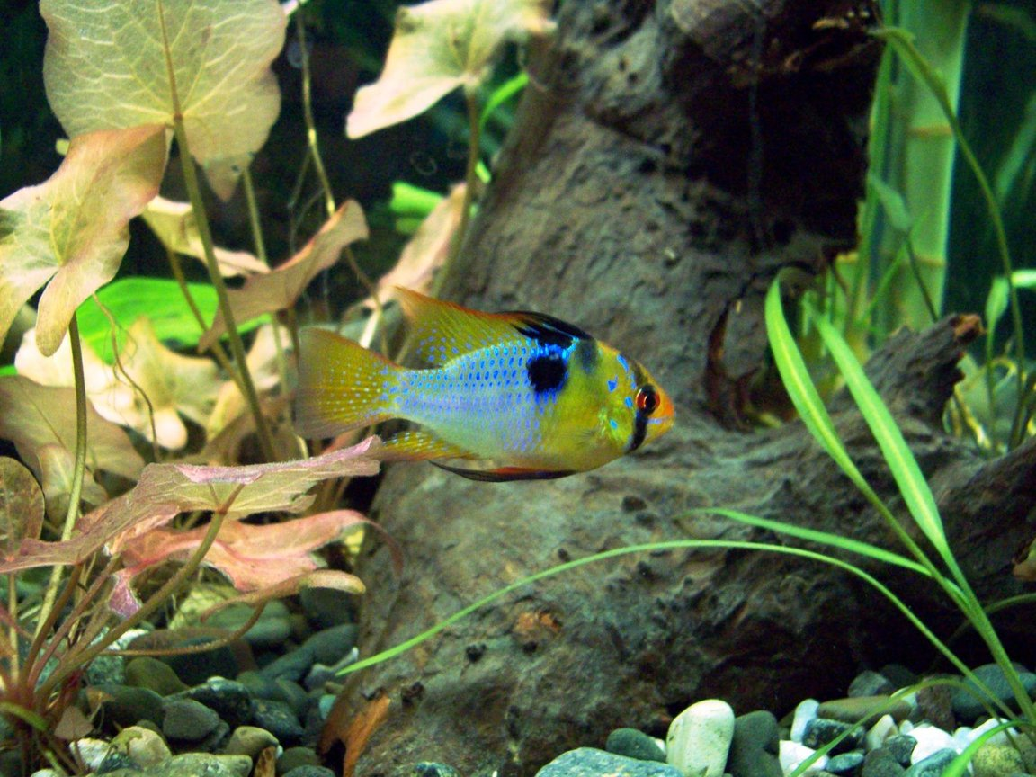 freshwater fish - papiliochromis ramirezi - german blue ram stocking in 55 gallons tank - Blue Ram