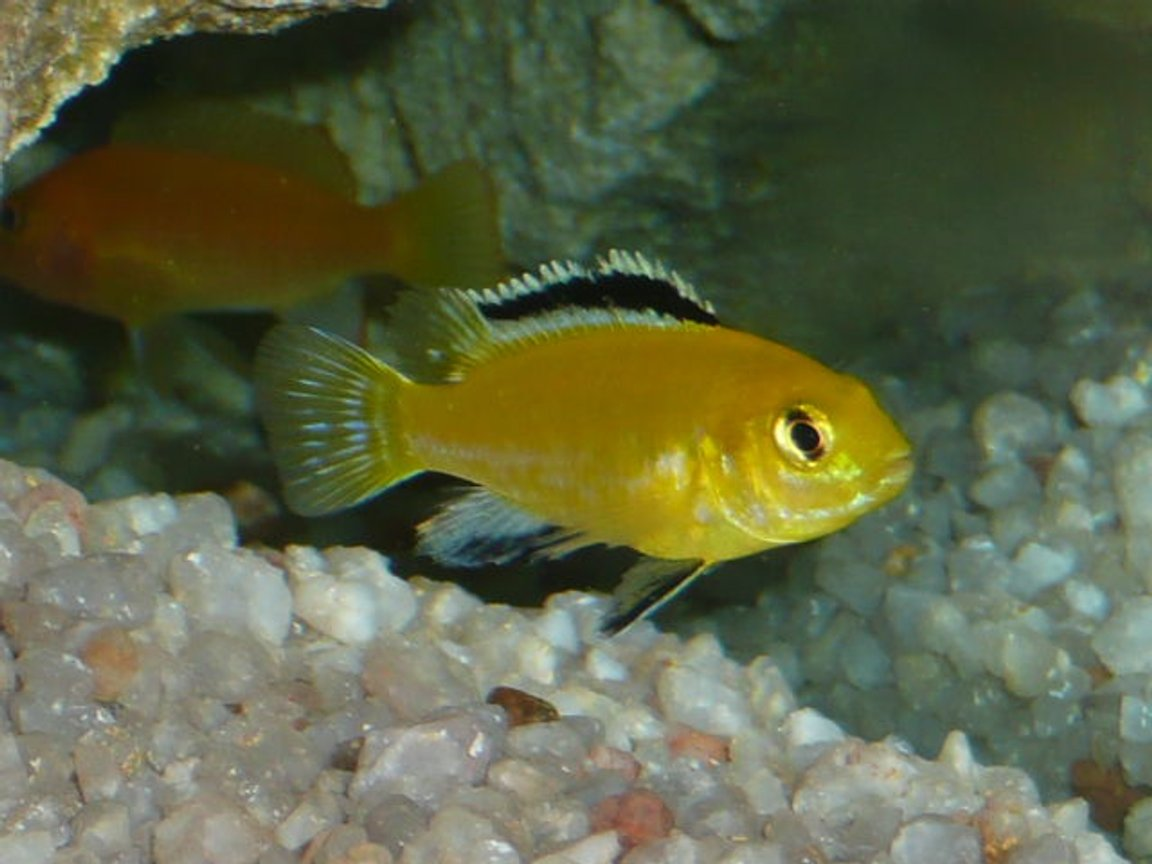 "freshwater fish - labidochromis caeruleus - electric yellow cichlid stocking in 50 gallons tank - ""Electric Yellow"" and Rear ""Red Zebra"""