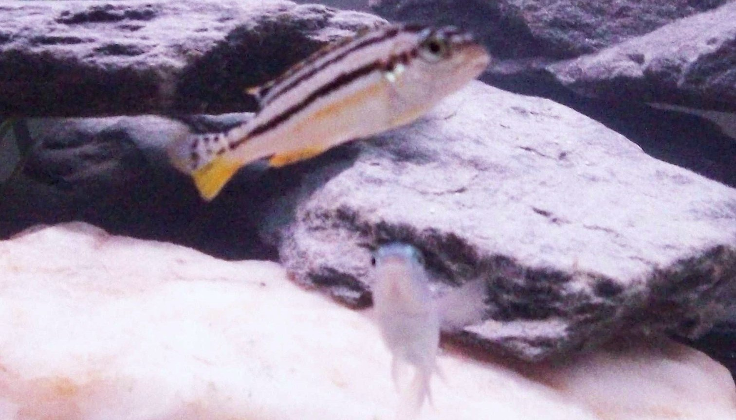 freshwater fish - melanochromis auratus - auratus cichlid stocking in 55 gallons tank - my female golden malawi