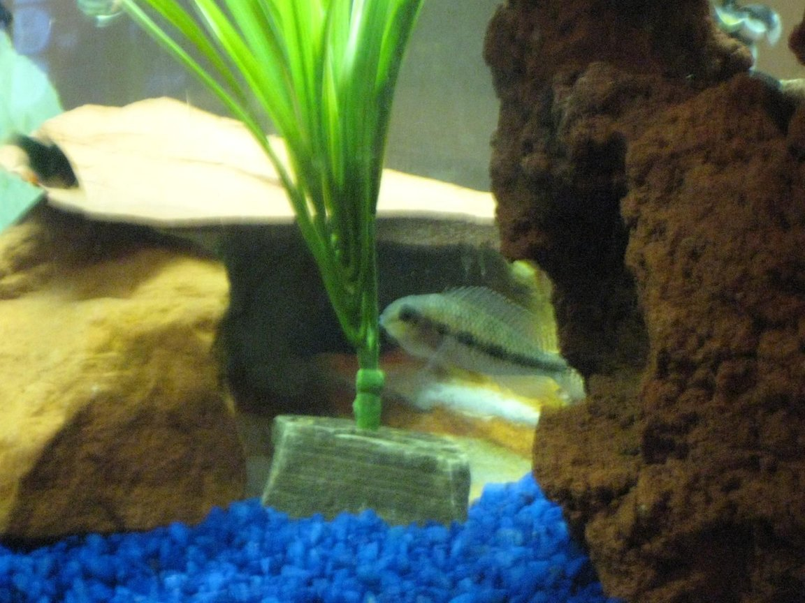 freshwater fish - apistogramma sp. - assorted apistogramma stocking in 20 gallons tank - Checkered Cichlid