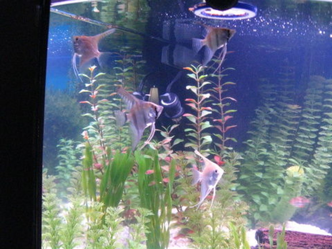 freshwater fish - pterophyllum sp. - silver zebra angel stocking in 36 gallons tank -
