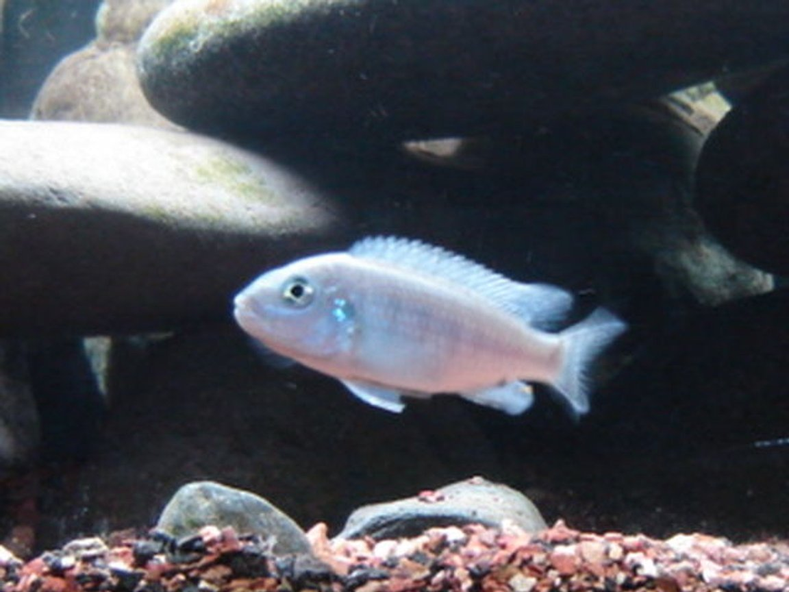 freshwater fish - sciaenochromis ahli - electric blue cichlid stocking in 22 gallons tank - Blue lab