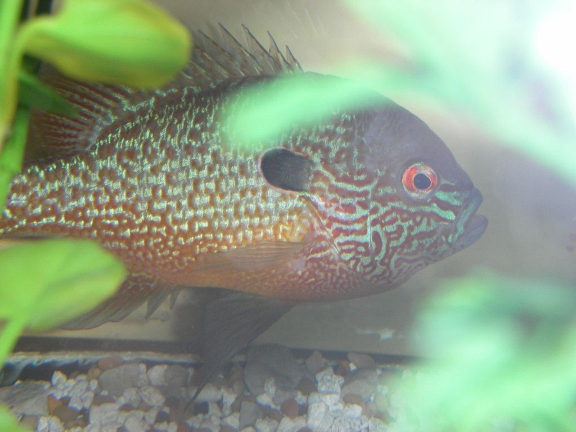freshwater fish - lepomis megalotis - longear sunfish stocking in 75 gallons tank - long eared sunfish
