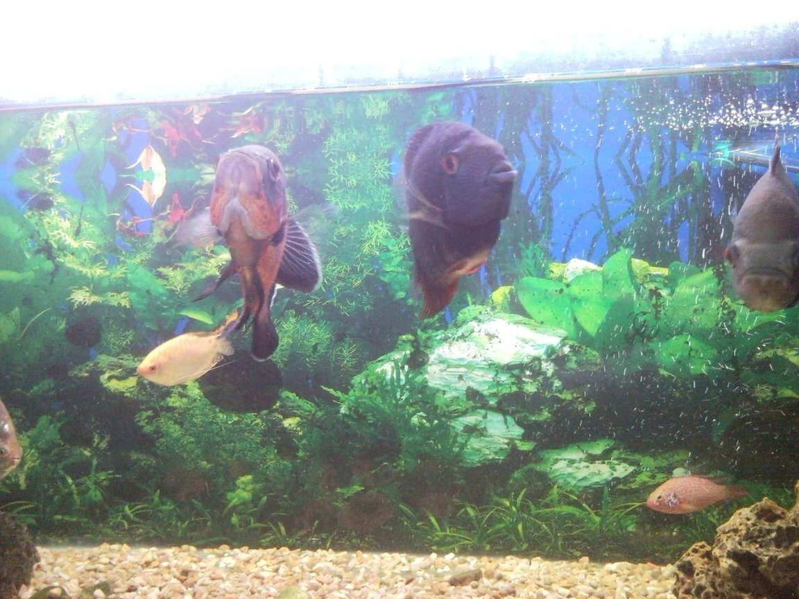 freshwater fish - astronotus ocellatus - red oscar stocking in 150 gallons tank - Oscar and Green deacon hungry again? They love to fight for territory, but being both aggressive fish they have found common ground and now have their own places in the tank.