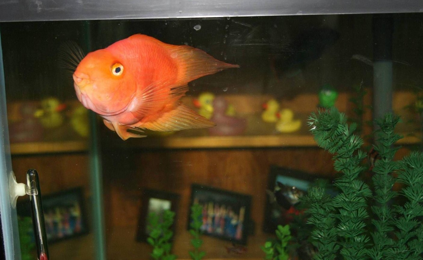 freshwater fish - heros severus x amphilophus citrinellum - blood parrot stocking in 56 gallons tank - Loui, my Heart-Shaped Parrot