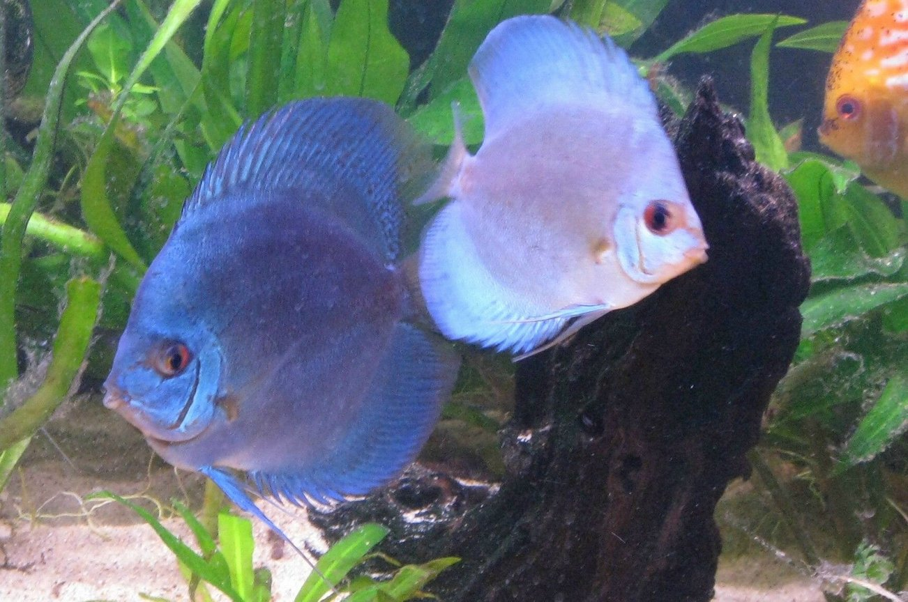 freshwater fish - symphysodon sp. - blue diamond discus stocking in 135 gallons tank - Discus