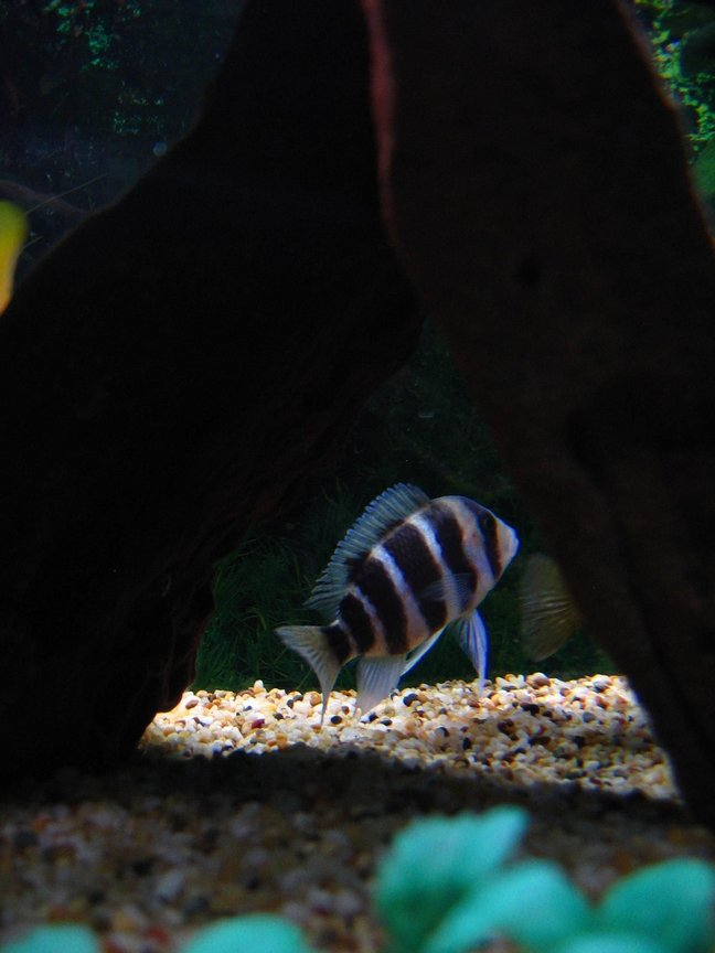 freshwater fish - cyphotilapia frontosa - frontosa cichlid stocking in 75 gallons tank - Frontosa trying to hide.