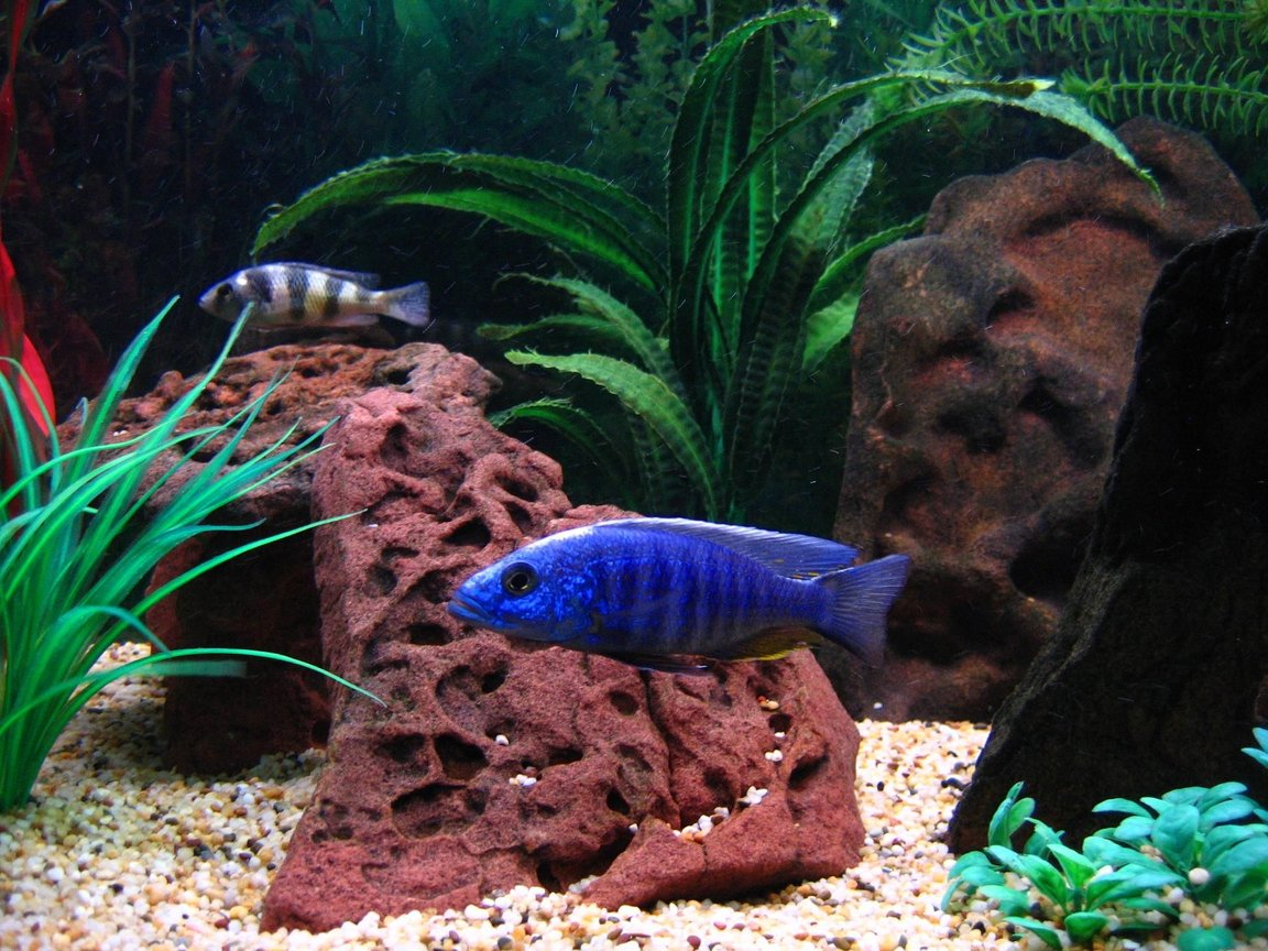 freshwater fish - sciaenochromis fryeri - electric blue hap stocking in 75 gallons tank - The biggest poser in my tank is one of my Electric Blues picture here in the front with my Zebra Obliquidens in the background.