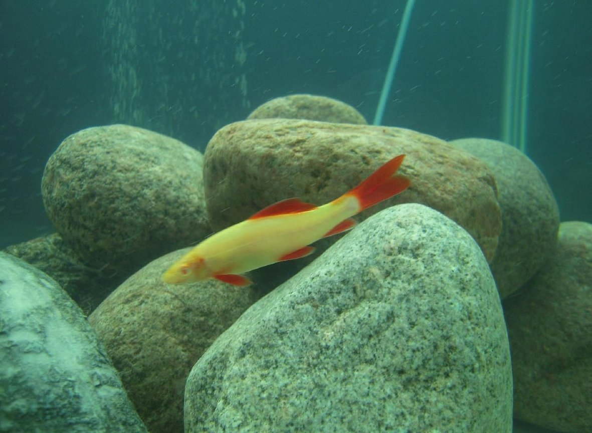 freshwater fish - epalzeorhynchos frenatus - albino rainbow shark stocking in 150 gallons tank - Albino Rainbow Shark