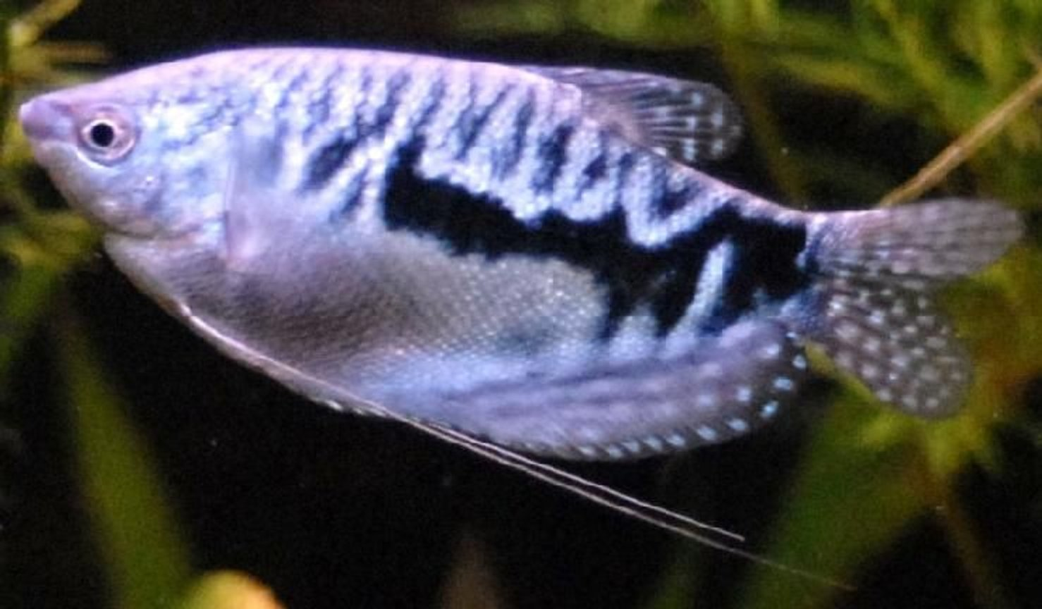 "freshwater fish - trichogaster trichopterus - opaline gourami stocking in 55 gallons tank - 3"" Blue Guarami"