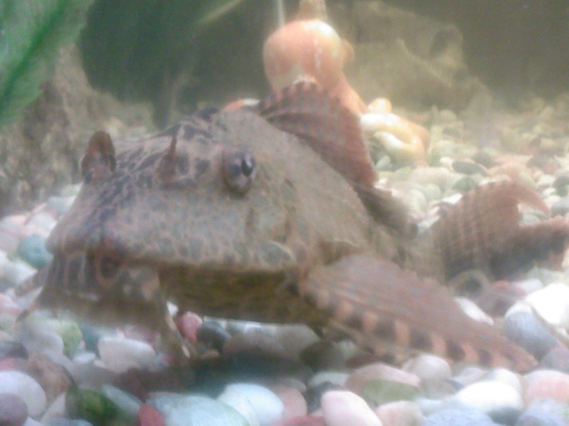 freshwater fish - hypostomus plecostomus - common pleco stocking in 190 gallons tank - This Is My Common Plec, Leo!! hes such a poser its unreal!!