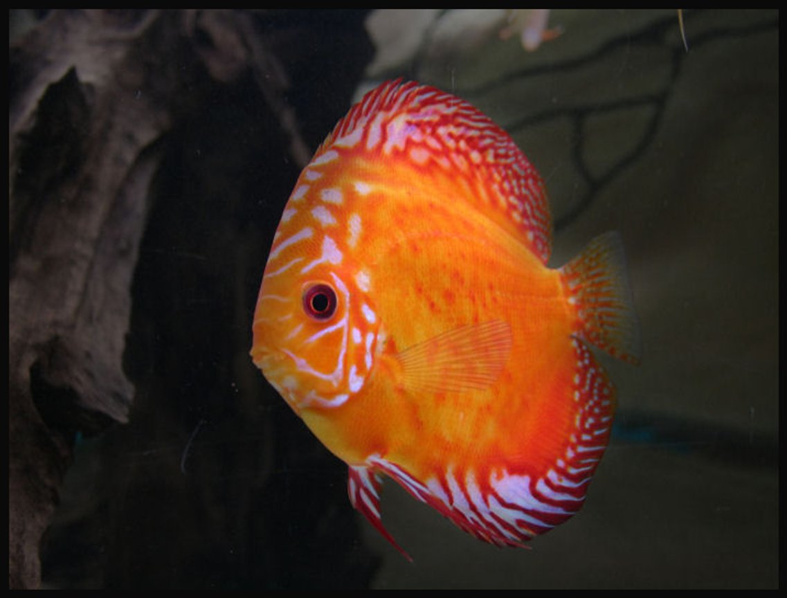freshwater fish - golden candle discus stocking in 127 gallons tank - Golden Candle Discus