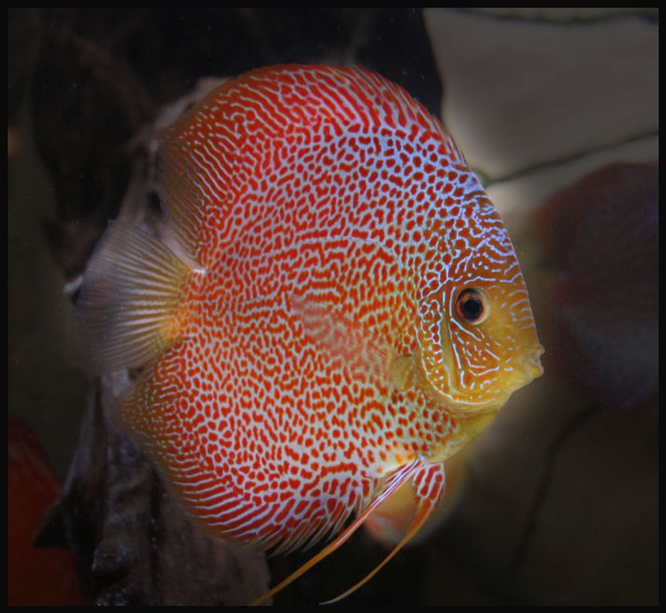 freshwater fish - oriental dream discus stocking in 127 gallons tank - Discus Super Eruption