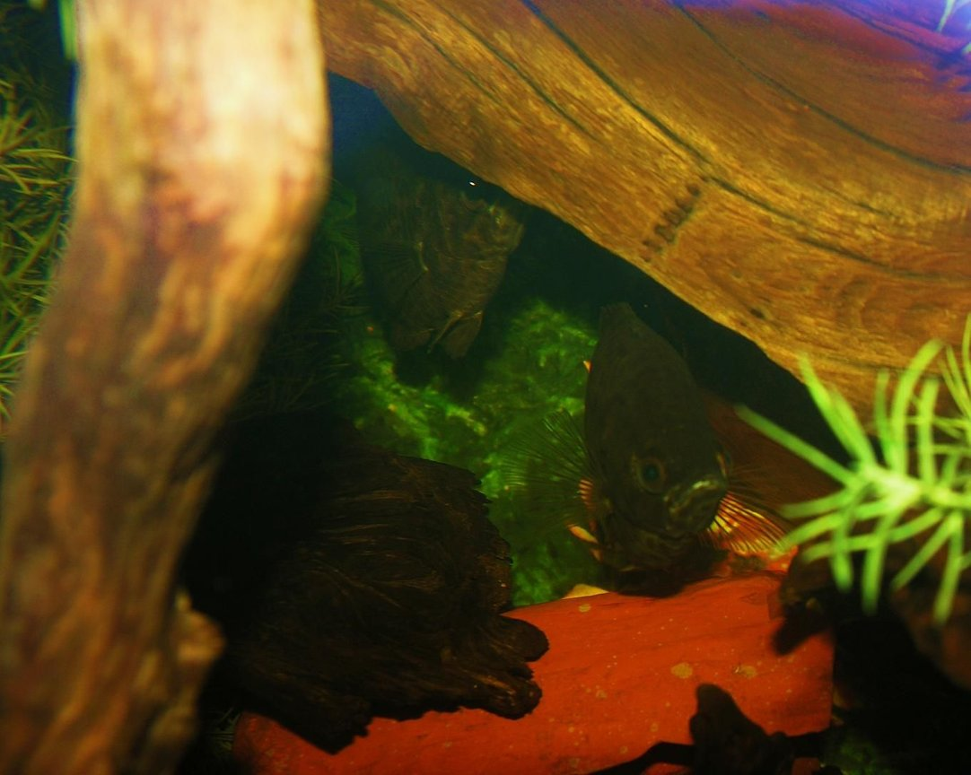 freshwater fish stocking in 120 gallons tank - loving couple