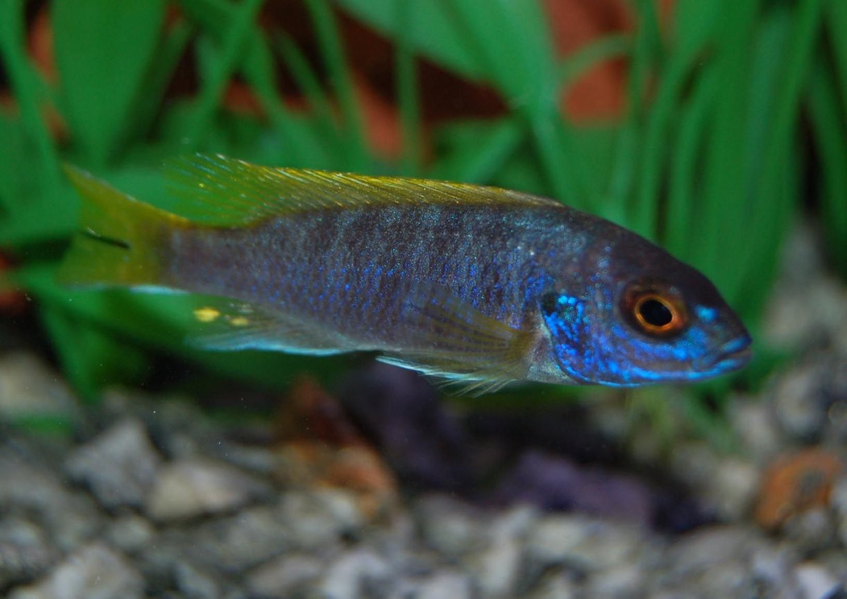 freshwater fish - labidochromis sp. - hongi stocking in 46 gallons tank - Hongi