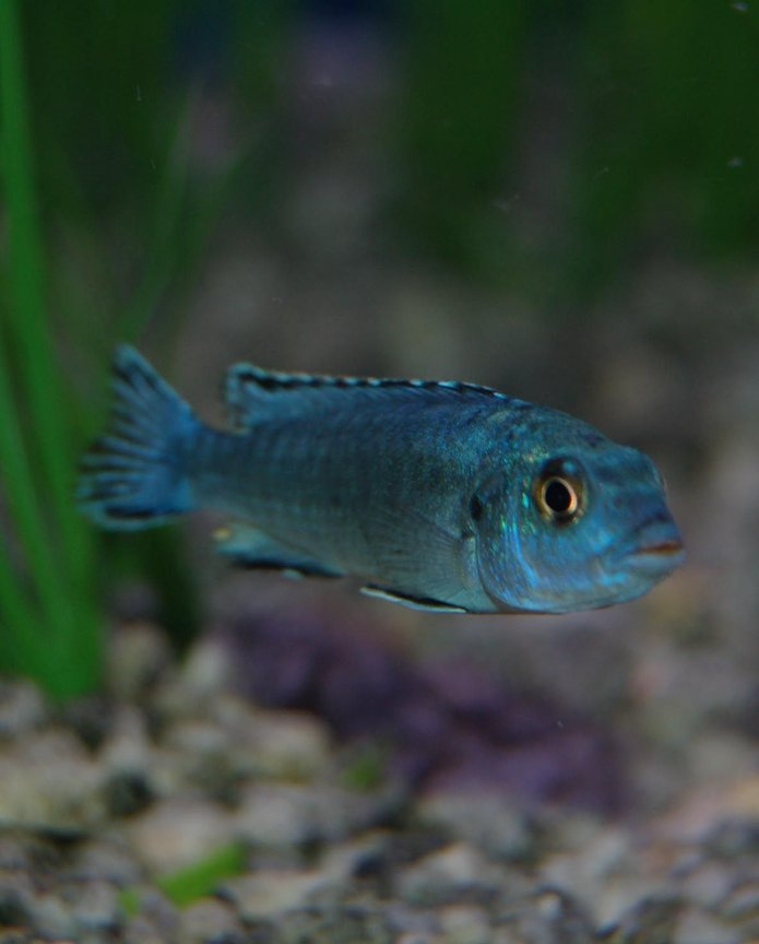 freshwater fish - melanochromis johannii - johanni cichlid stocking in 46 gallons tank - Electric Blue