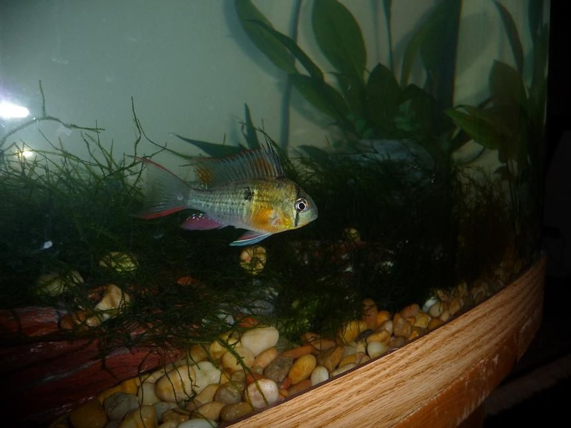 freshwater fish - microgeophagus altispinosa - bolivian ram stocking in 46 gallons tank - one of my bolivian rams