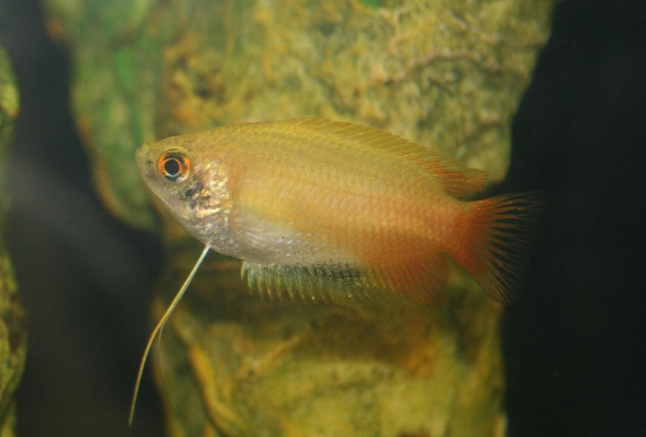 freshwater fish - colisa chuna - honey dwarf gourami stocking in 150 gallons tank - Dwarf Honey Gourami