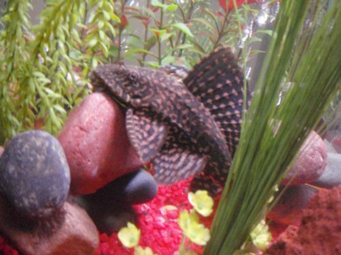 freshwater fish - glyptoperichthys gibbiceps - sailfin pleco (l-83) stocking in 29 gallons tank - pelco