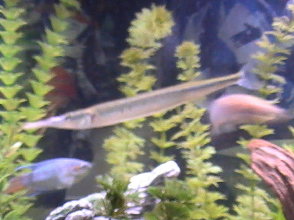 freshwater fish - xenentodon cancila - needle nose gar stocking in 55 gallons tank - coming soon