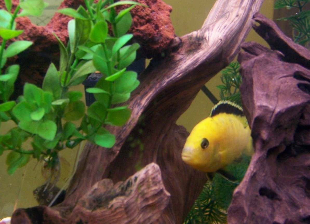 freshwater fish - labidochromis caeruleus - electric yellow cichlid stocking in 30 gallons tank - One of our male yellows...