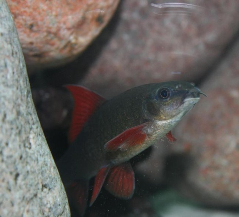 freshwater fish - epalzeorhynchos frenatus - rainbow shark stocking in 150 gallons tank - Epalzeorhynchos Frenatus